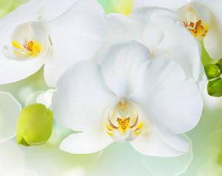 Фотообои ''Белая орхидея 300х238 см''