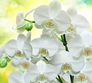 Фотообои ''Белые орхидеи 300х270 см''