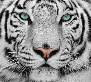 Фотообои ''Белый тигр 300х270 см''